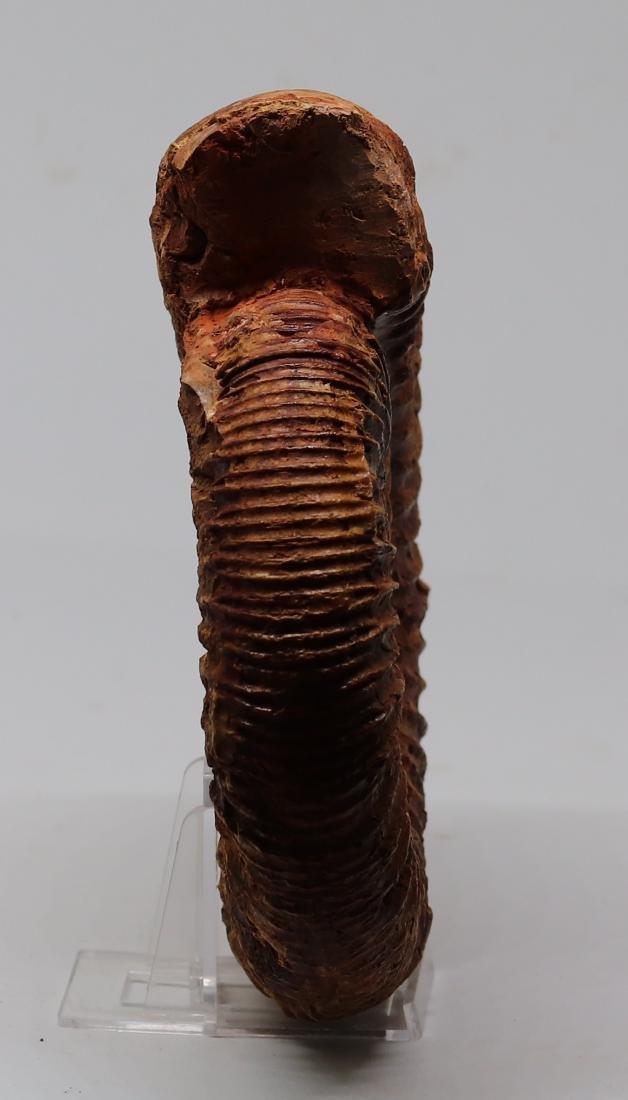 Jurassic ammonite : Kranaosphinctes roedereri - 2