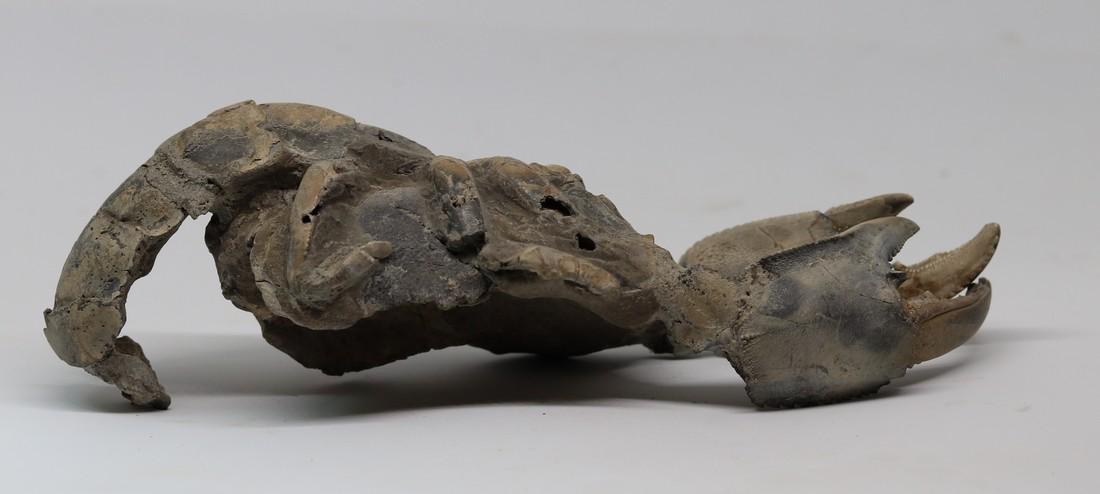 Giant fossil lobster : Thalassina emerii - 2