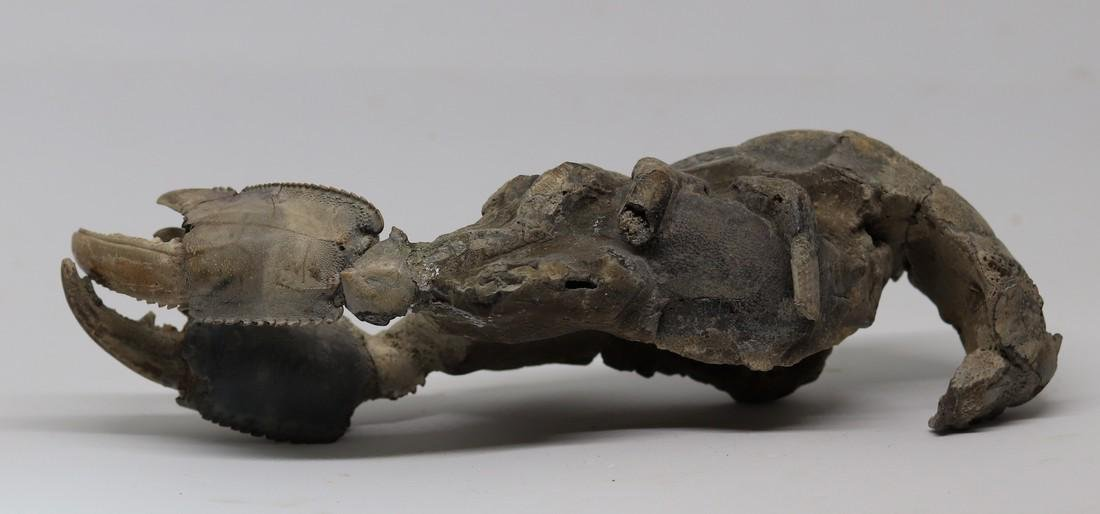 Giant fossil lobster : Thalassina emerii - 4