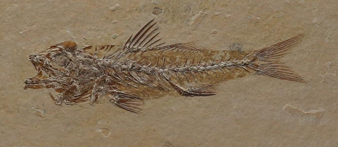 Fossil fish : Dapalis macrurus - 3