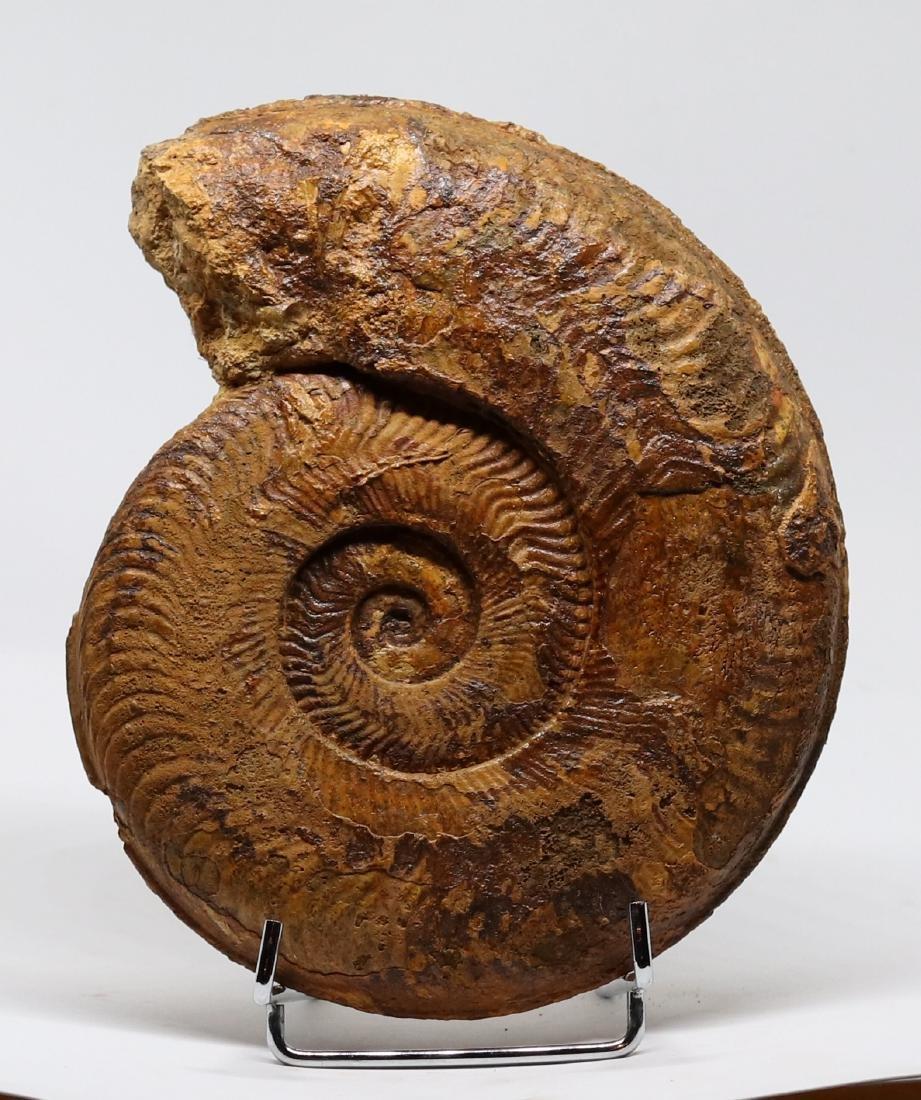 Jurassic fossil ammonite : Harpoceras serpentinum
