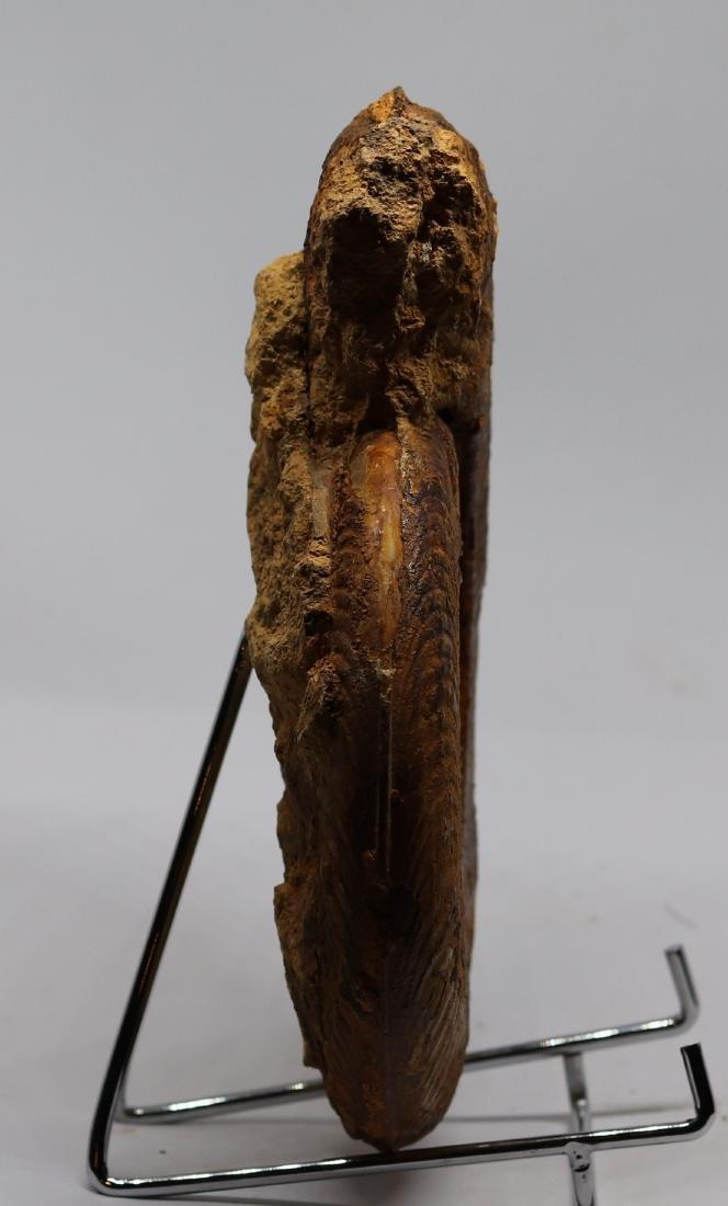Jurassic fossil ammonite : Harpoceras serpentinum - 4