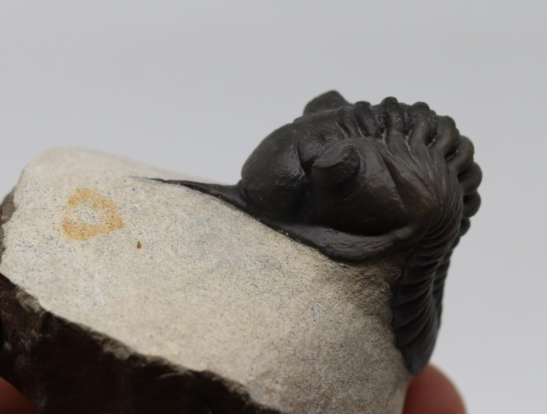 Fossil trilobite : Morocconites maladoides