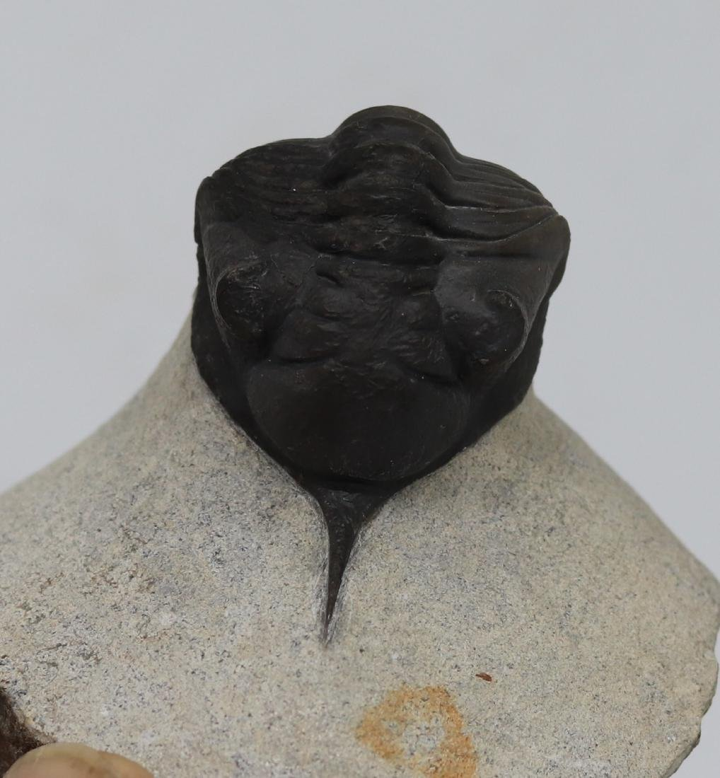 Fossil trilobite : Morocconites maladoides - 5