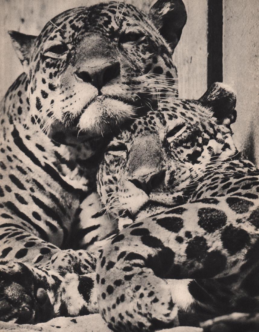 JULIUS ARNFELD - Leopard Love