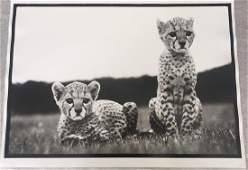 After Peter Beard Photo Untitled (Cheetah Cubs)