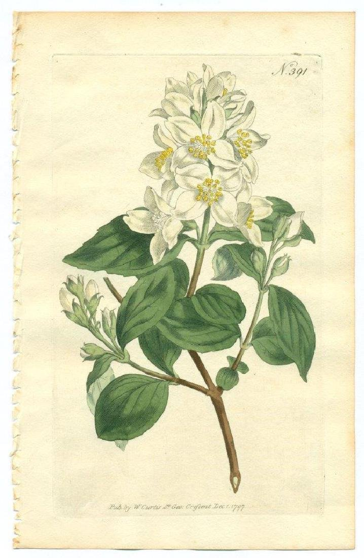1797 W. Curtis Old Antique Botanical Print Text Page