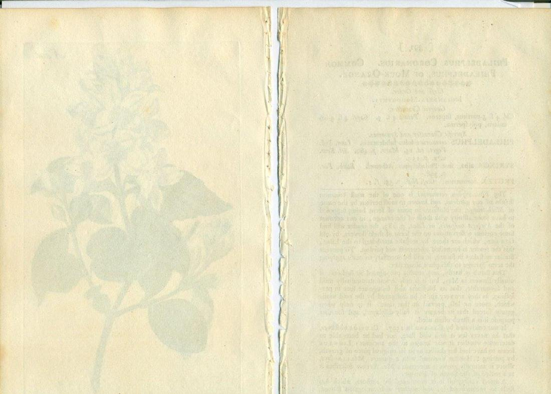 1797 W. Curtis Old Antique Botanical Print Text Page - 3
