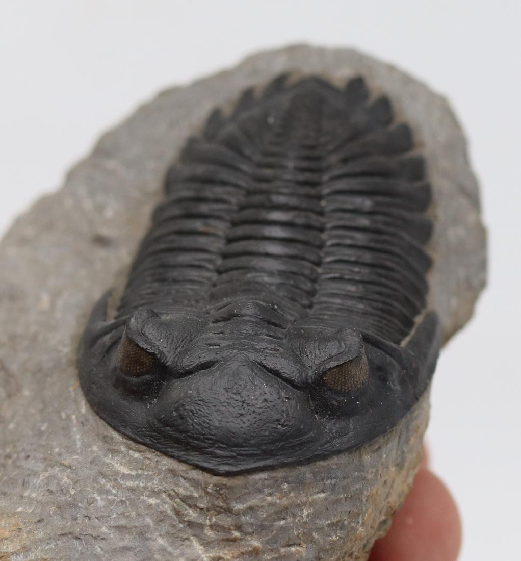 Fossil trilobite with perfect eyes: Hollardops - 4