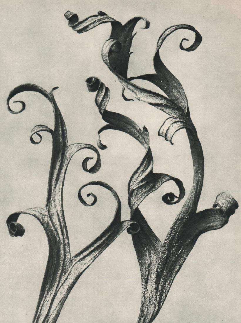 KARL BLOSSFELDT - Delphinium