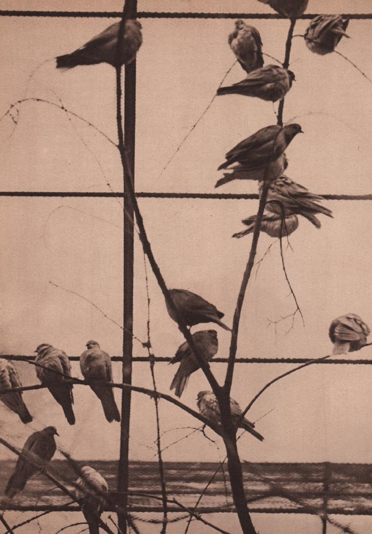 ANDRE KERTESZ - Birds