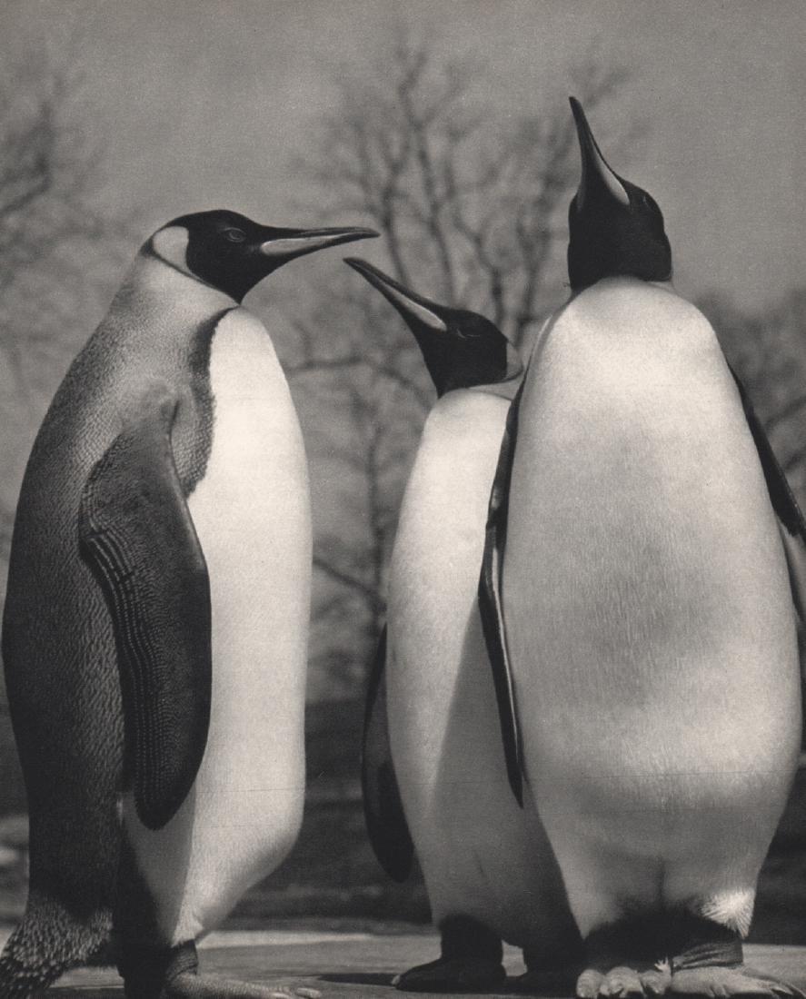 YLLA - Penguins