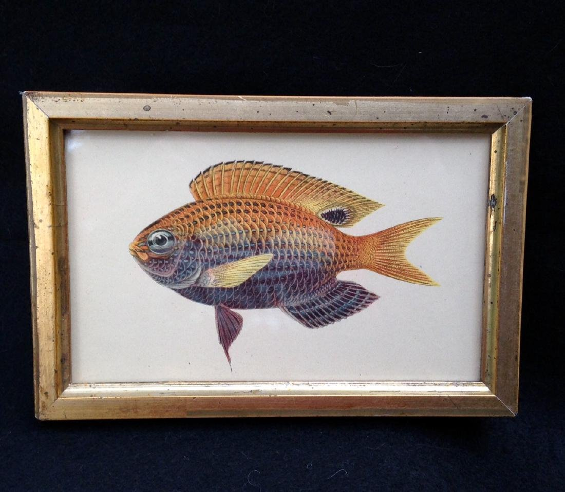 19th C Colored Fish Engraving 19th C Gold Leaf Frame