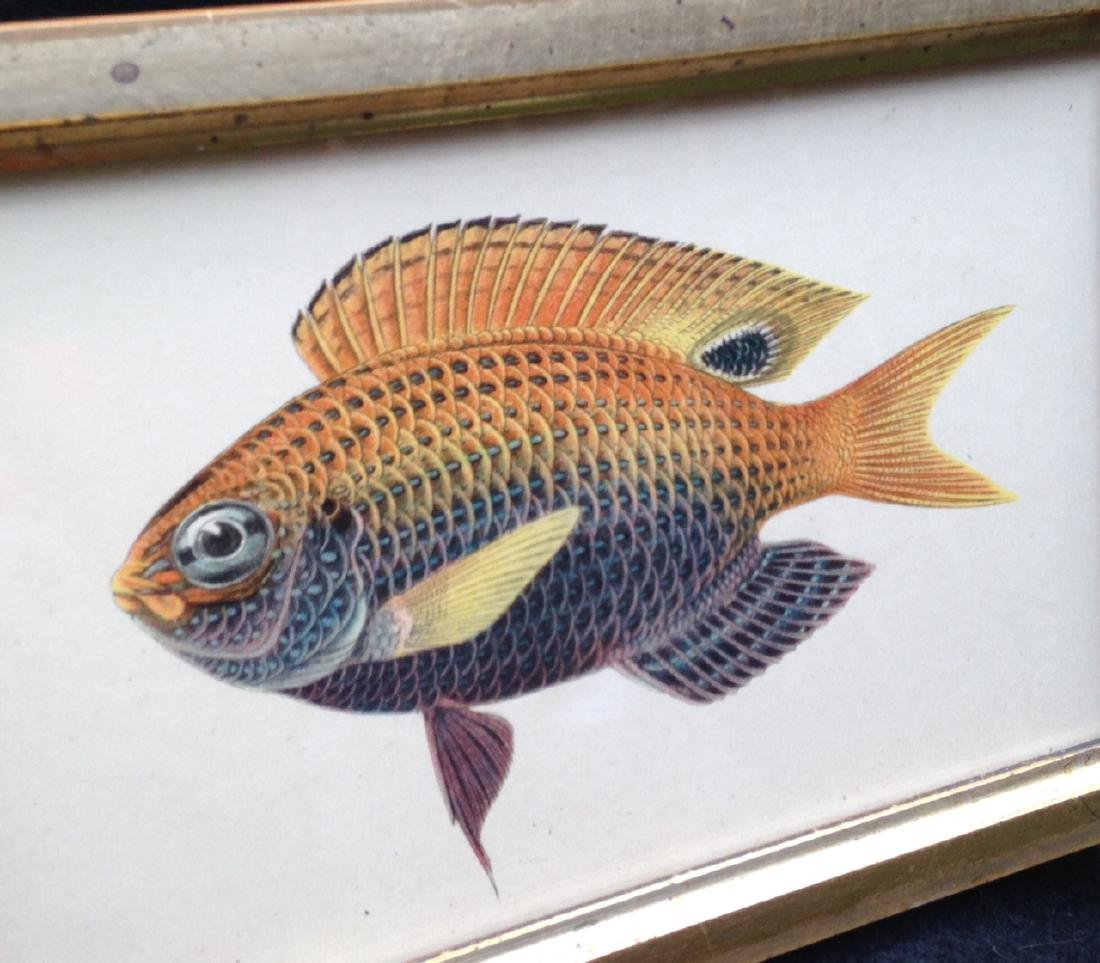 19th C Colored Fish Engraving 19th C Gold Leaf Frame - 2