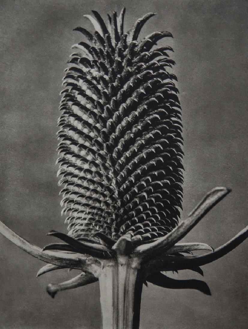 KARL BLOSSFELDT - Dipsacus fullonum, Fuller's Teasel