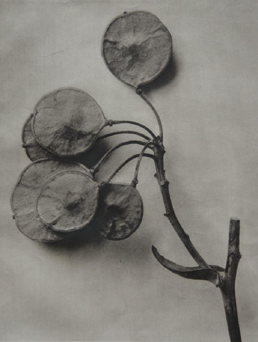 KARL BLOSSFELDT - Ptelea trifoliata, Clover Shrub, Hop