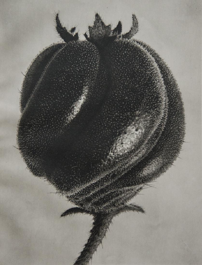 KARL BLOSSFELDT - Blumenbachia Hieronymi (Loasaceae)