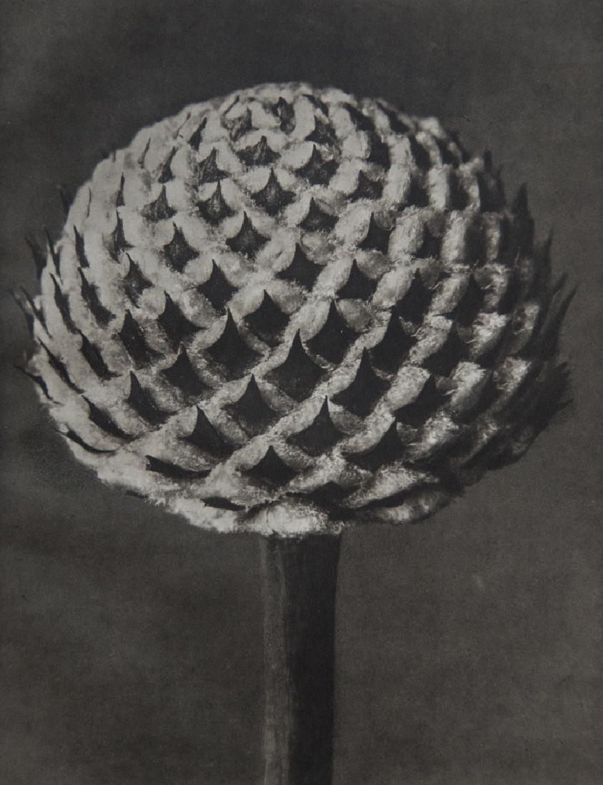 KARL BLOSSFELDT - Cephalaria, Scaly Head