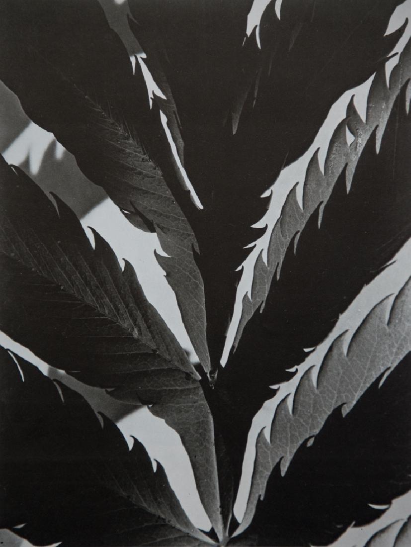 IMOGEN CUNNINGHAM - Leaf Pattern, 1929