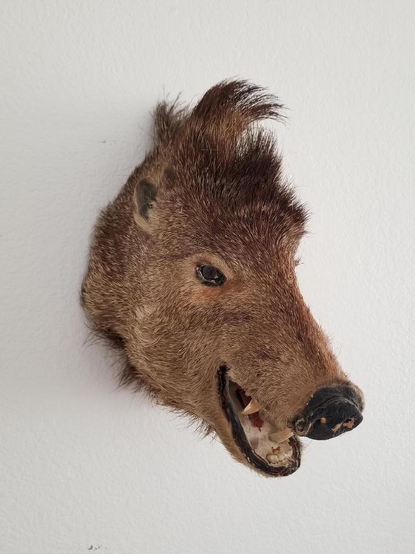 Studio Wild Boar Taxidermy Head With Wall Mounting Hook