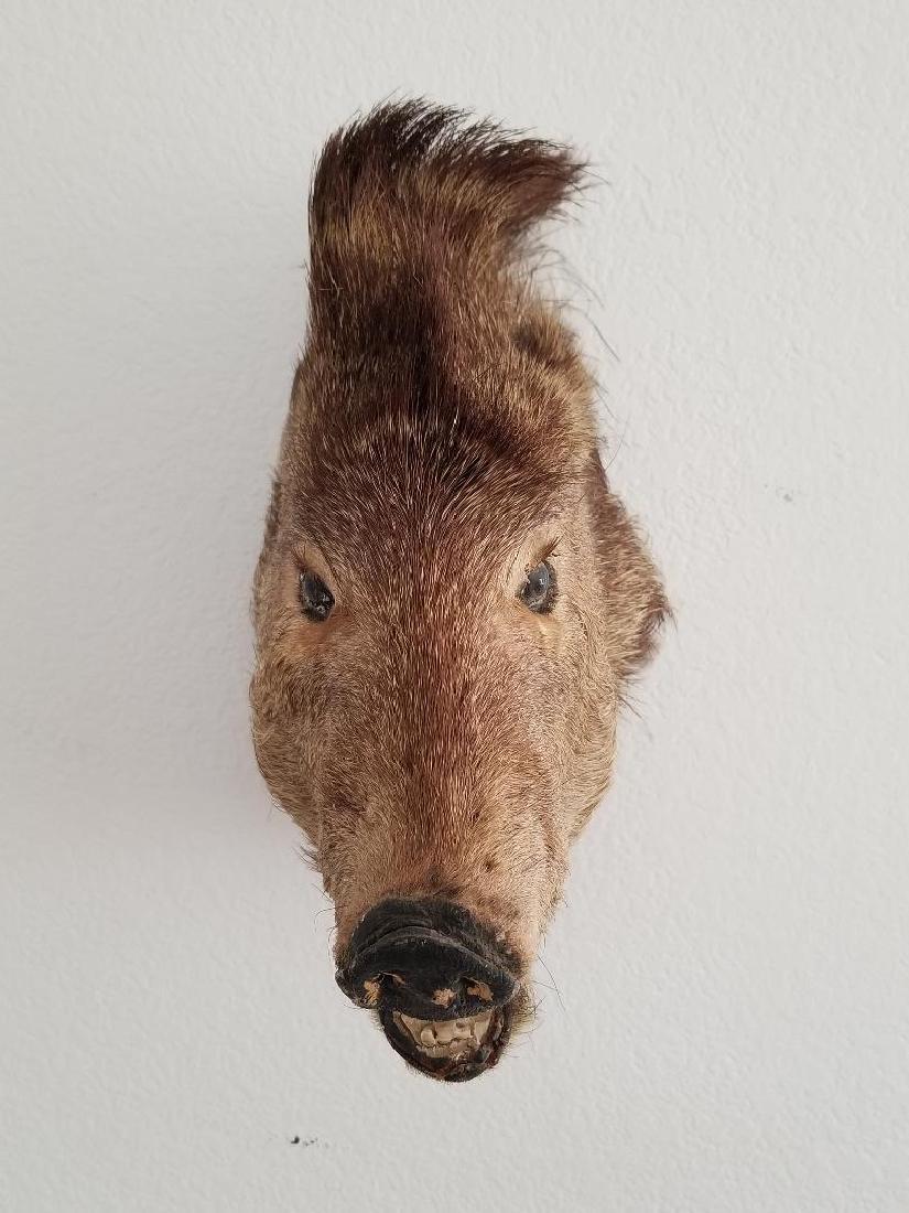 Studio Wild Boar Taxidermy Head With Wall Mounting Hook - 2