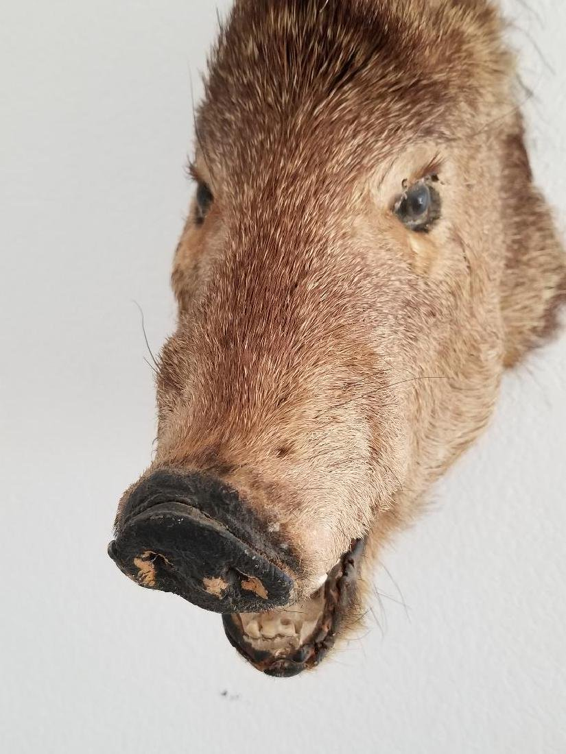 Studio Wild Boar Taxidermy Head With Wall Mounting Hook - 3