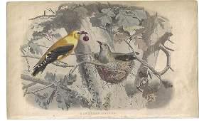 1840 Handcolored Lithograph European Oriole