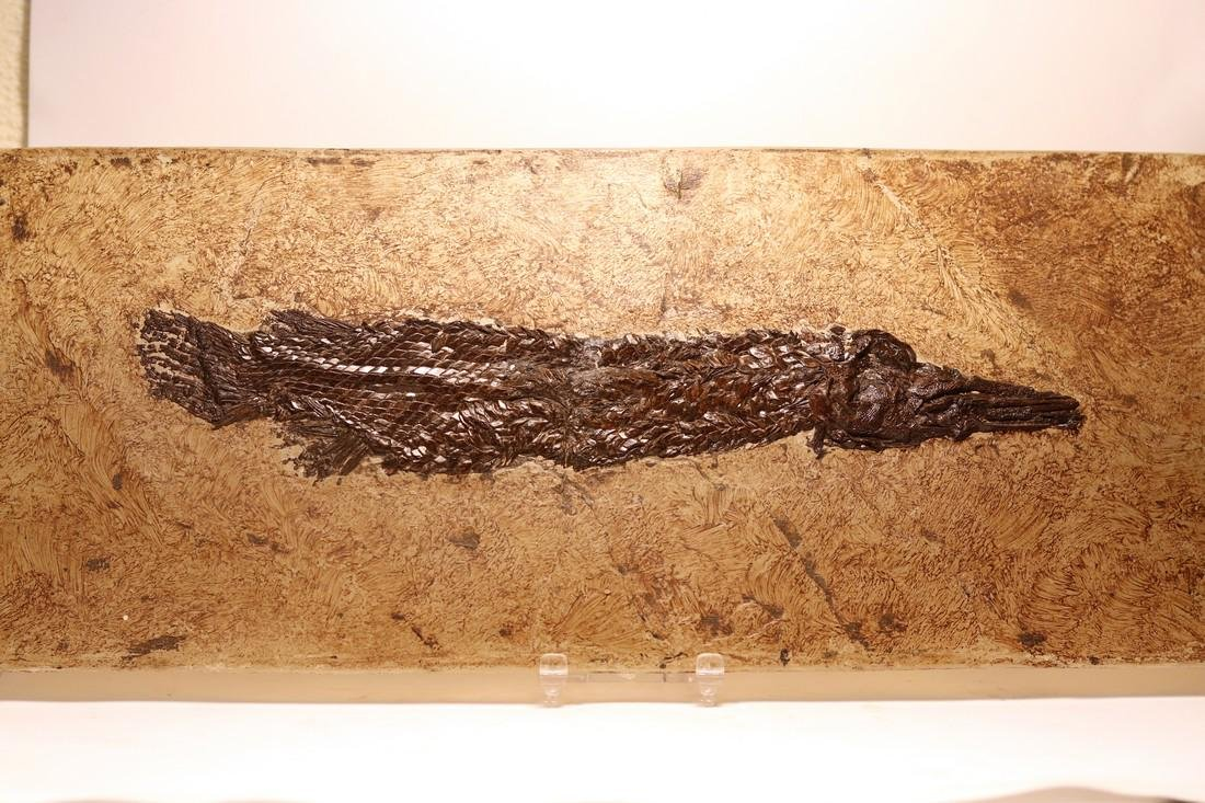 Fossil gar fish from Messel - Atractosteus strausi