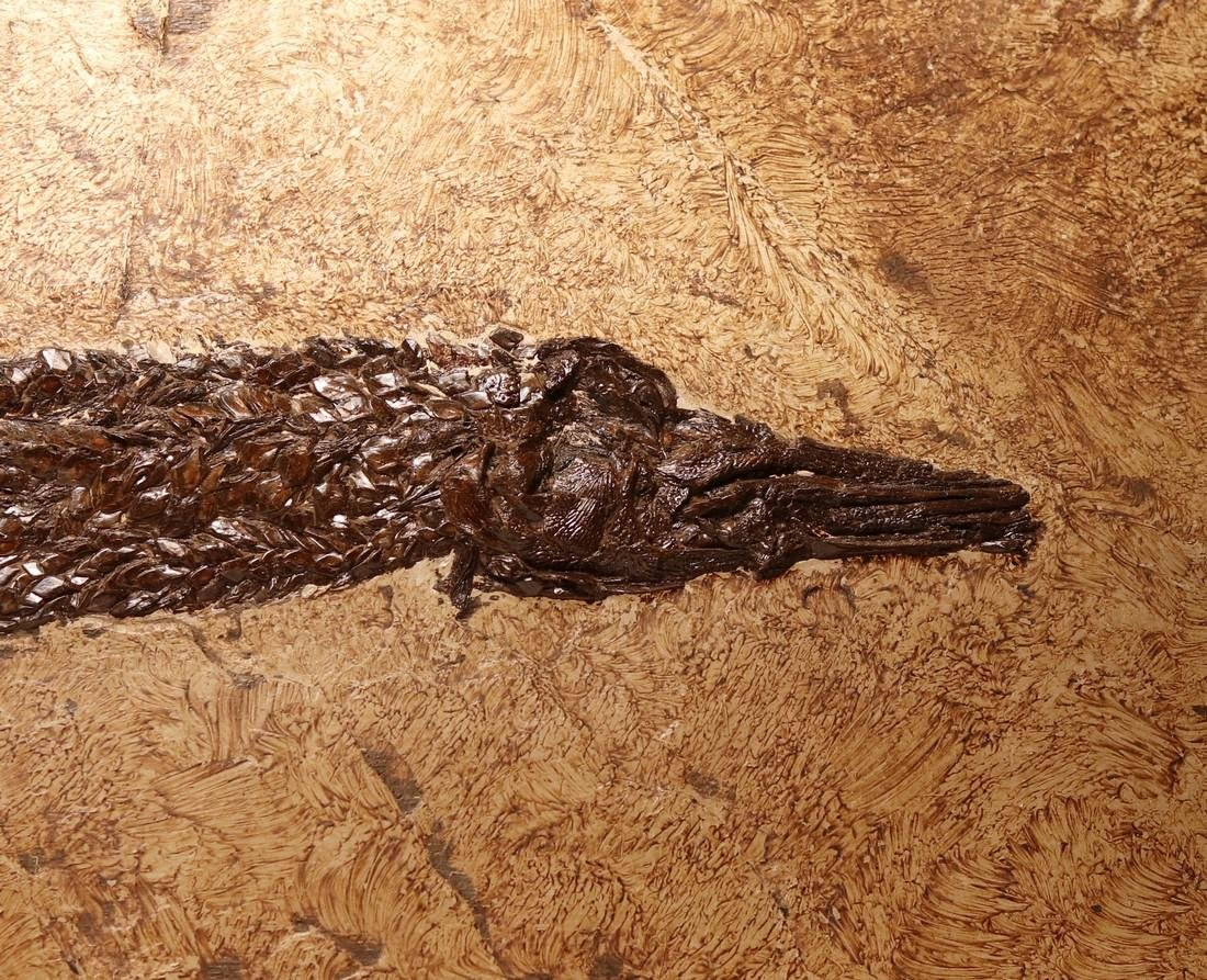 Fossil gar fish from Messel - Atractosteus strausi - 3