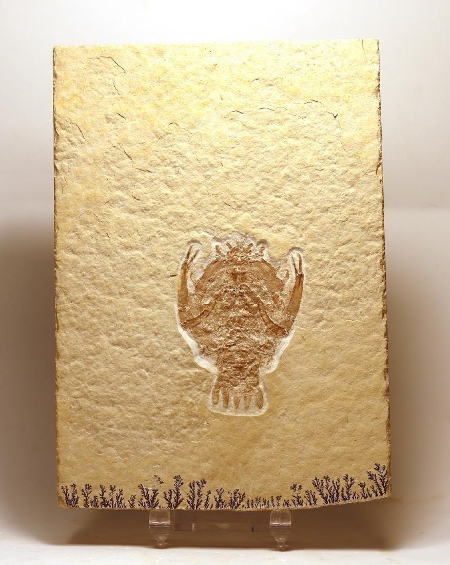 Outstanding fossil from Solnhofen : Eryon arctiformis