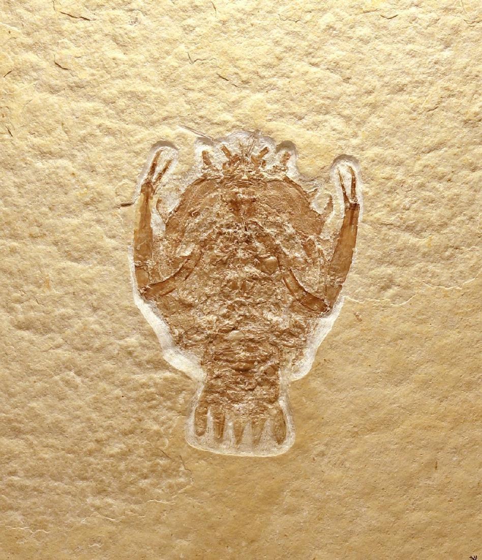 Outstanding fossil from Solnhofen : Eryon arctiformis - 2