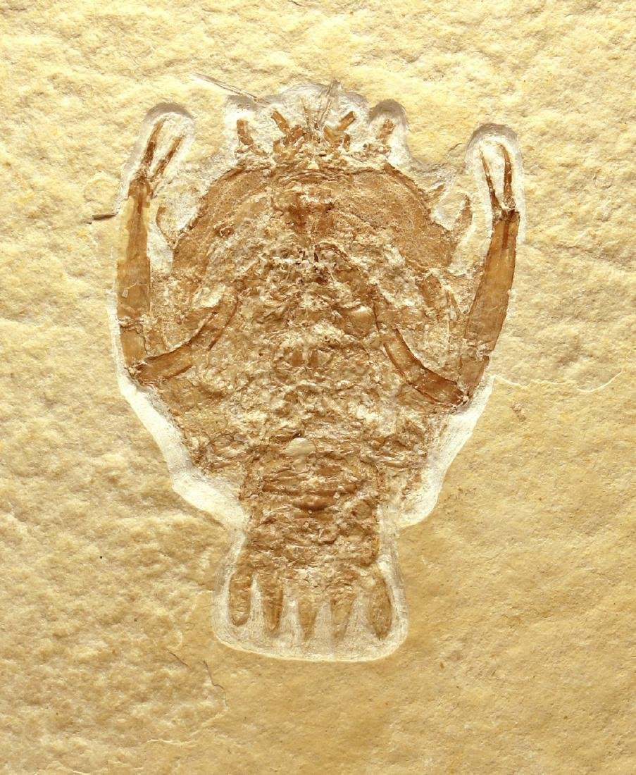 Outstanding fossil from Solnhofen : Eryon arctiformis - 3