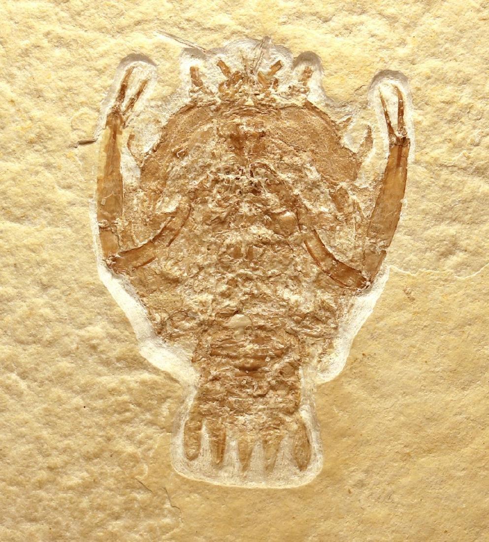 Outstanding fossil from Solnhofen : Eryon arctiformis - 4