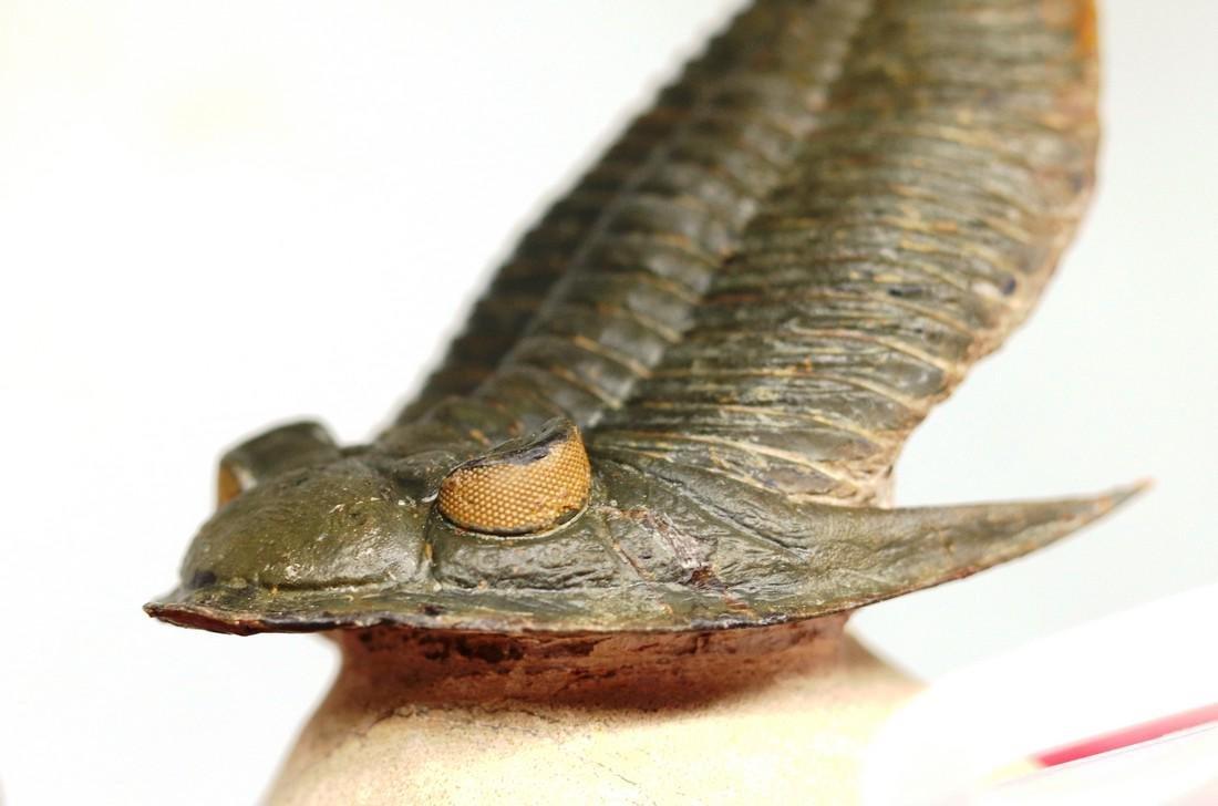 Huge flying trilobite with yellow eyes : Zlichovaspis