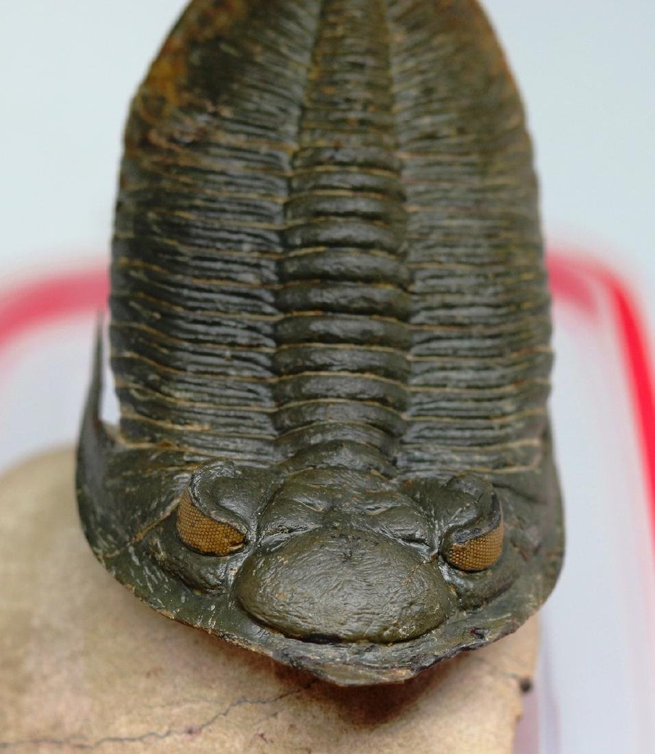 Huge flying trilobite with yellow eyes : Zlichovaspis - 8