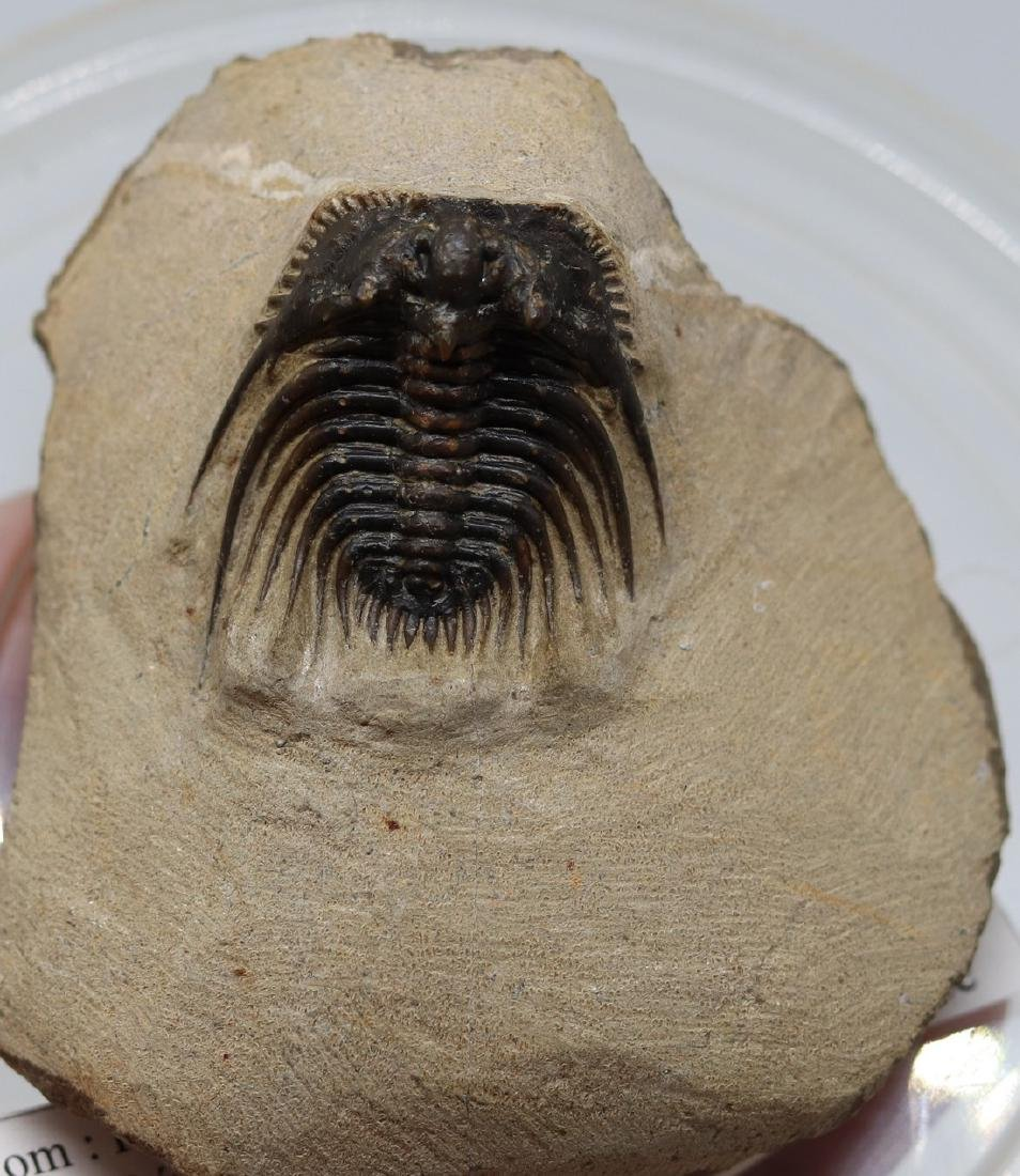 Extremely spiny fossil trilobite : Kettneraspis sp.