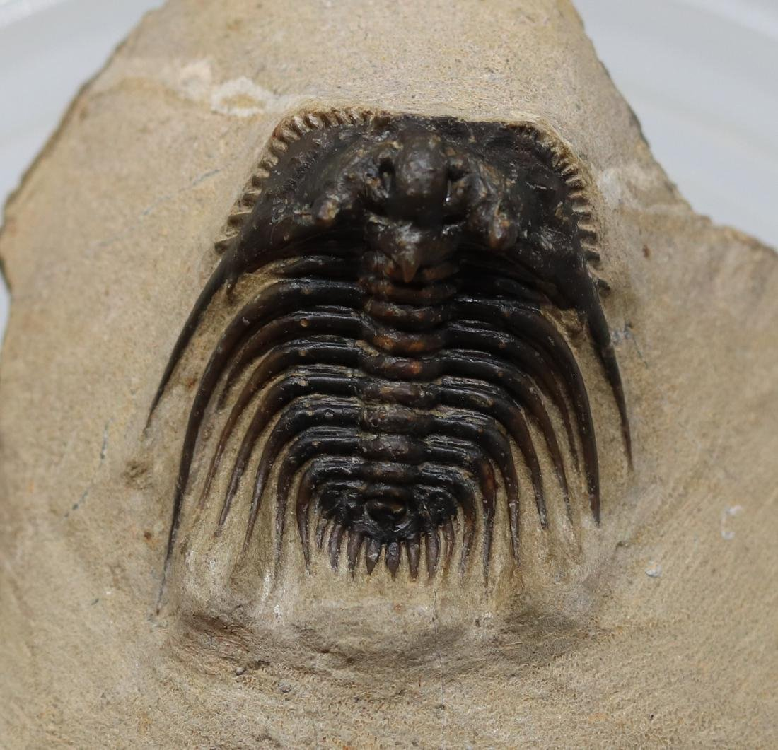 Extremely spiny fossil trilobite : Kettneraspis sp. - 2