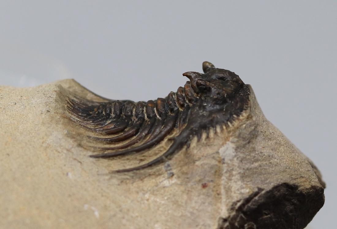 Extremely spiny fossil trilobite : Kettneraspis sp. - 3