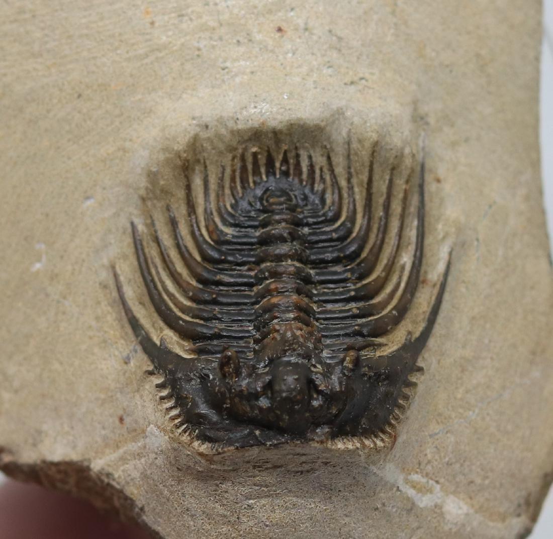 Extremely spiny fossil trilobite : Kettneraspis sp. - 4