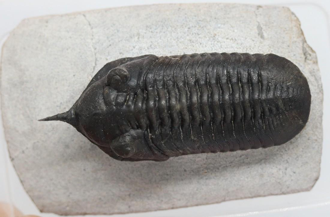 Fossil trilobite with free standing spine: Morocconites