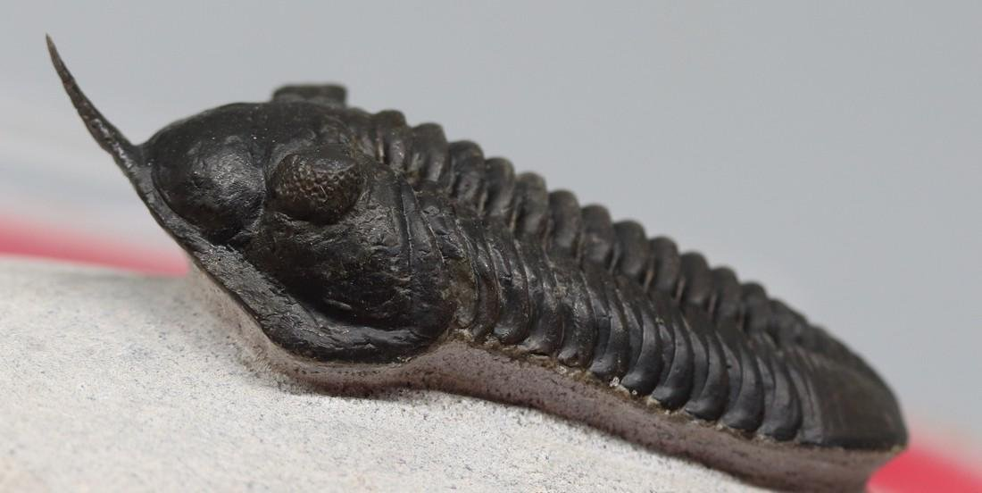 Fossil trilobite with free standing spine: Morocconites - 2