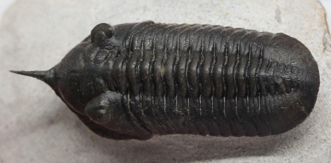 Fossil trilobite with free standing spine: Morocconites - 5