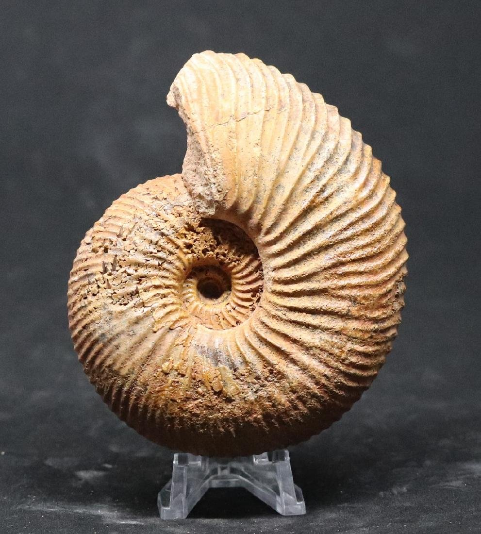 Jurassic ammonite : Epimayaites falcoides