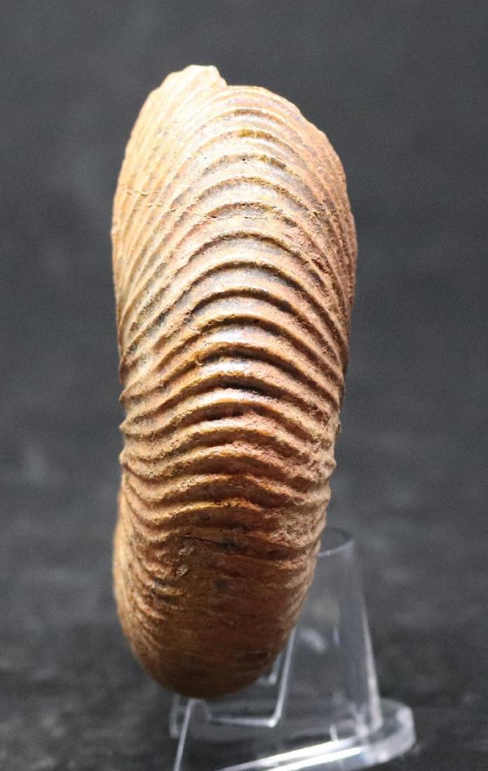 Jurassic ammonite : Epimayaites falcoides - 2