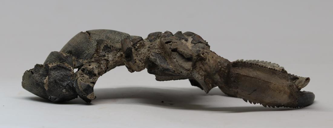 Giant fossil lobster : Thalassina emerii - 3