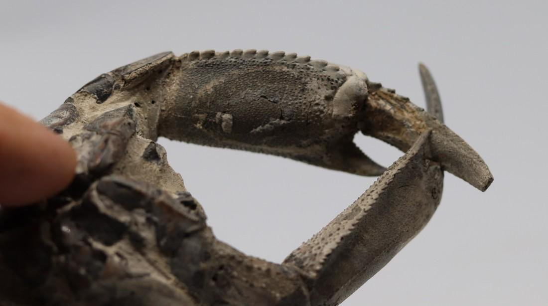 Giant fossil lobster : Thalassina emerii - 7