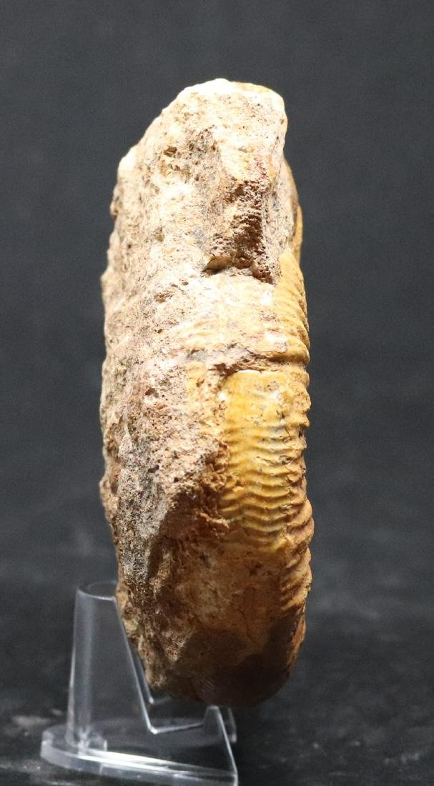 Jurassic ammonite : Orionoides lehmani - 2