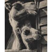 WOLFGANG SUSCHITZKY - Two Camels