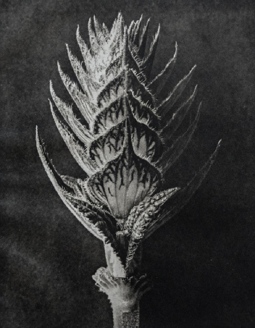 KARL BLOSSFELDT - Salvia pratensis