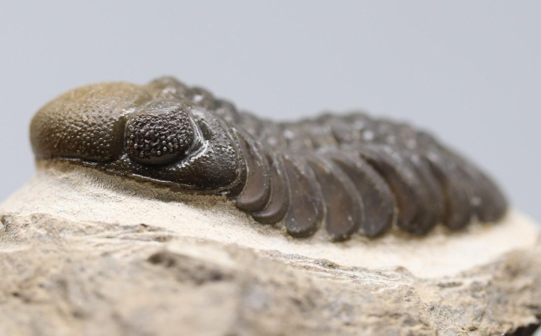 Double colored fossil trilobite : Barrandeops